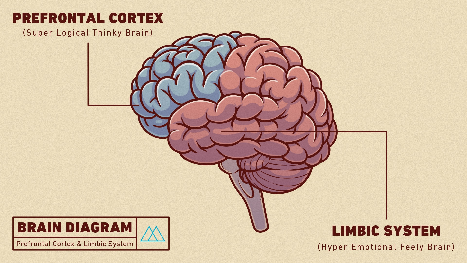 brain diagram prefrontal cortex images